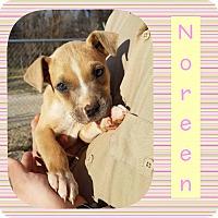 Adopt A Pet :: Noreen - Newcastle, OK