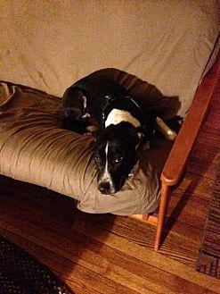 Labrador Retriever/Pit Bull Terrier Mix Dog for adoption in Homer, New York - Kooper