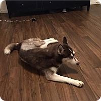 Adopt A Pet :: Delilah - Las Vegas, NV