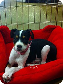 French Bulldog Mix Puppy for adoption in Silsbee, Texas - Hannah