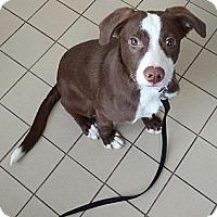 Adopt A Pet :: Bruno - Jackson, MI