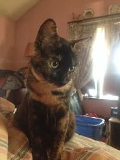 Domestic Shorthair Cat for adoption in Old Bridge, New Jersey - Sailor