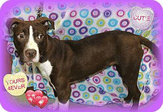American Staffordshire Terrier Mix Dog for adoption in Danville, Illinois - MADDIE