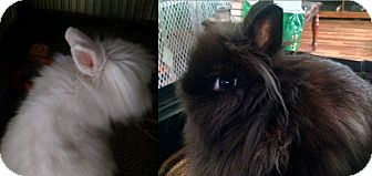 Lionhead Mix for adoption in Hahira, Georgia - Jasmine