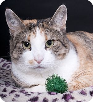 Calico Cat for adoption in Chicago, Illinois - Mazel