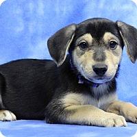 Adopt A Pet :: CARMEN - Westminster, CO