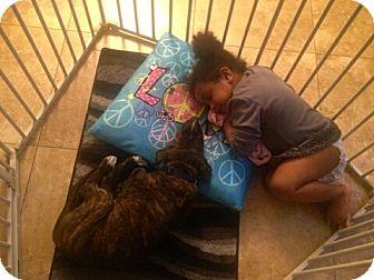 American Bulldog/Labrador Retriever Mix Puppy for adoption in Miami, Florida - Parker