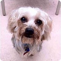 Adopt A Pet :: Cinnamon - Homestead, FL