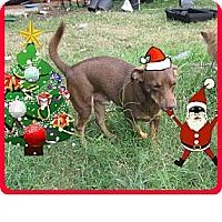Adopt A Pet :: Joey - Copperas Cove, TX