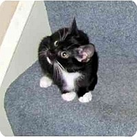 Adopt A Pet :: Tulip - Alexandria, VA