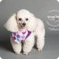 Adopt A Pet :: Shirley Sue Sabrina - Shawnee Mission, KS