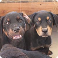 Adopt A Pet :: 5 FEMALE ROTTIE PUPS - Gilbert, AZ