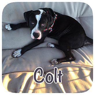 Bull Terrier Mix Dog for adoption in Ravenna, Texas - Colt