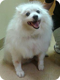 American Eskimo Dog Mix Dog for adoption in St. Louis, Missouri - Stormy