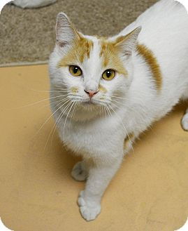 Hemingway/Polydactyl Cat for adoption in Springfield, Illinois - Rizzo