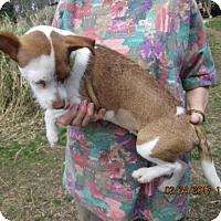 Adopt A Pet :: PEANUT - Williston Park, NY