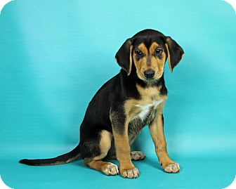 Shepherd (Unknown Type)/Hound (Unknown Type) Mix Puppy for adoption in Joliet, Illinois - Beauty