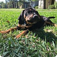 Adopt A Pet :: Puppy Max - Austin, TX