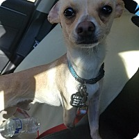 Adopt A Pet :: Cruz - Goodyear, AZ