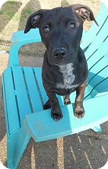 Labrador Retriever/Shepherd (Unknown Type) Mix Puppy for adoption in Olive Branch, Mississippi - Abby