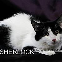 Adopt A Pet :: Sherlock - Davison, MI