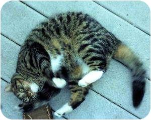 Domestic Shorthair Cat for adoption in Colmar, Pennsylvania - Puff