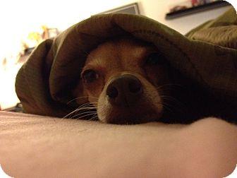 Chihuahua Mix Dog for adoption in Saint Clair Shores, Michigan - Paisley