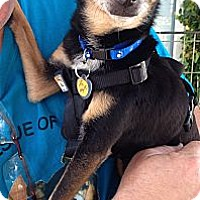 Chihuahua Mix Dog for adoption in San Diego, California - Carter