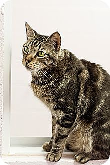 Domestic Shorthair Cat for adoption in Carencro, Louisiana - Jax