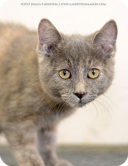 Domestic Shorthair Kitten for adoption in Pincher Creek, Alberta - wicket