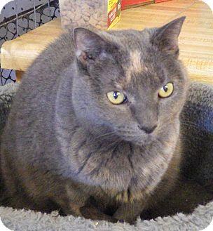 British Shorthair Cat for adoption in Quail Valley, California - Pixie (declawed)