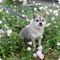Adopt A Pet :: Wolfie! - Redondo Beach, CA