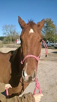 Quarterhorse Mix for adoption in Hitchcock, Texas - Webster