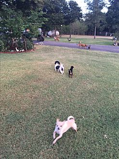 Chihuahua Dog for adoption in Blanchard, Oklahoma - perkins