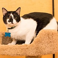 Domestic Shorthair Kitten for adoption in Santa Fe, Texas - Miko