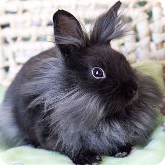 Lionhead Mix for adoption in Montclair, California - Alec