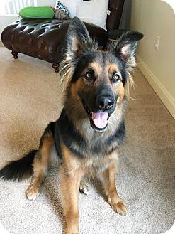 German Shepherd Dog/Collie Mix Dog for adoption in Greensboro, North Carolina - Truman(CL)