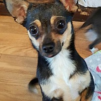 Chihuahua Dog for adoption in Baileyton, Alabama - Bella