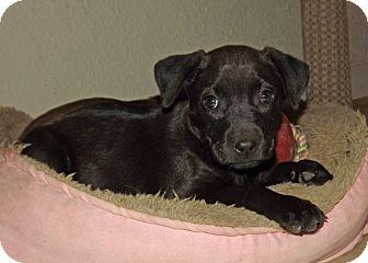 Labrador Retriever/Shar Pei Mix Puppy for adoption in Phoenix, Arizona - Gemma