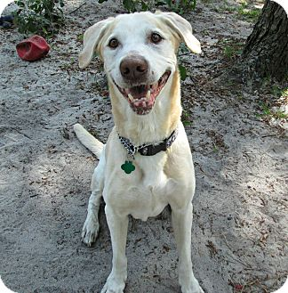 Labrador Retriever Dog for adoption in Forked River, New Jersey - Tonka