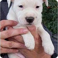 Adopt A Pet :: Holly - Glastonbury, CT