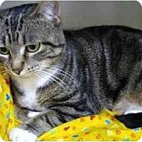 Adopt A Pet :: Sweety - 3 legs - Markham, ON