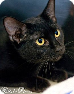 Domestic Shorthair Cat for adoption in Manahawkin, New Jersey - Bits & Pieces