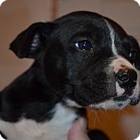 Adopt A Pet :: Aj - Westminster, CO