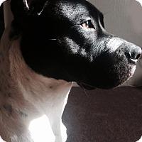 Adopt A Pet :: Kona-courtesy post - Valley Springs, CA