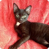 Adopt A Pet :: Loki - Pittstown, NJ