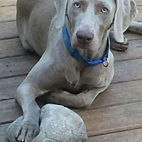 Weimaraner Dog for adoption in Grand Haven, Michigan - Thor