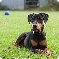 Adopt A Pet :: Diamond - Fort Worth, TX