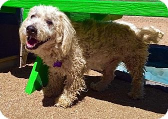 Poodle (Miniature) Mix Dog for adoption in Portland, Oregon - Mr. Jingles