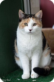 Domestic Shorthair Cat for adoption in Prescott, Arizona - Buttercup